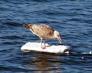 Bird eating floating styrofoam in ocean